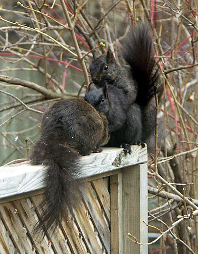Squirrels being squirrels