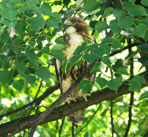 Another hawk watches carefully
