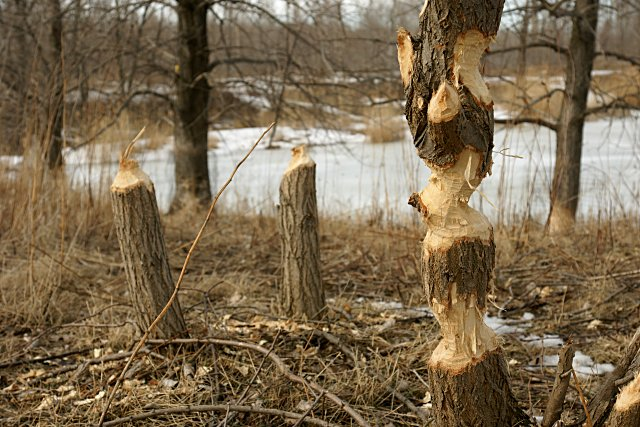 Beavers have done a real job on these trees