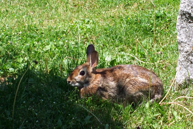 Rabbit in Mt. Pleasant Cemetery