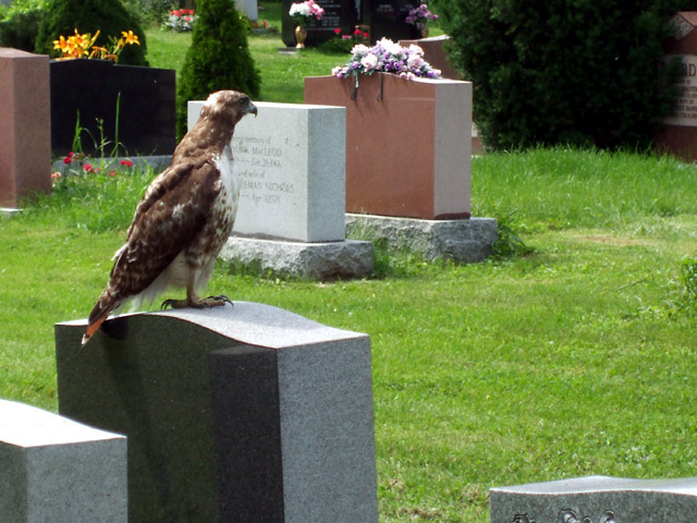 Red-tailed hawk surveys his domain