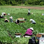 Workers tend to their crops.