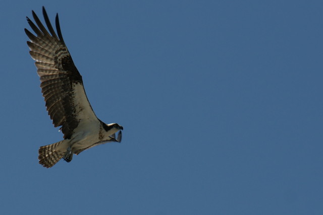 An osprey buzzes me when I get too close to its nest.