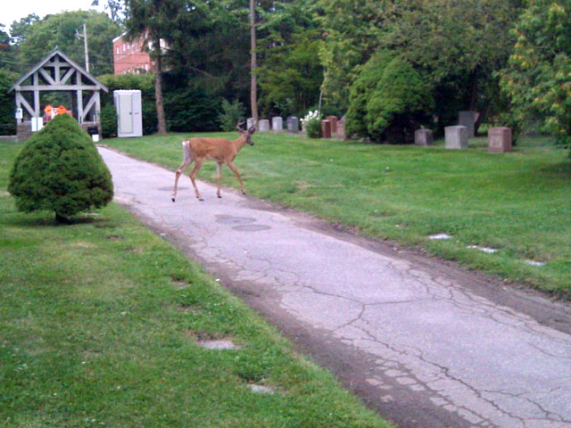 A young deer crosses the path in Mount Pleasant Cemetery