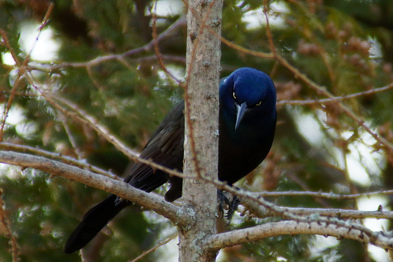 Don't taunt happy fun grackle.