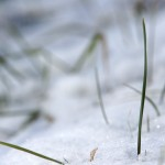 Fresh snow and a blade of grass