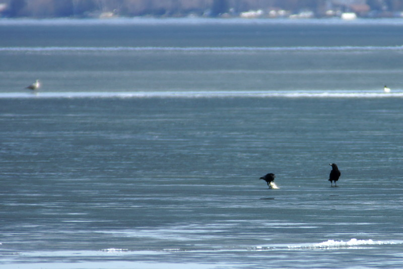 A pair of crows with a fish on the lake