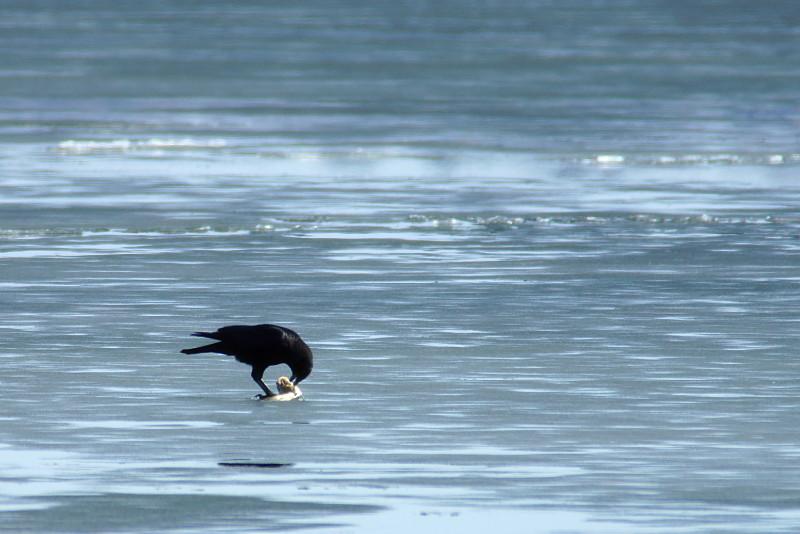 Crow eating sushi