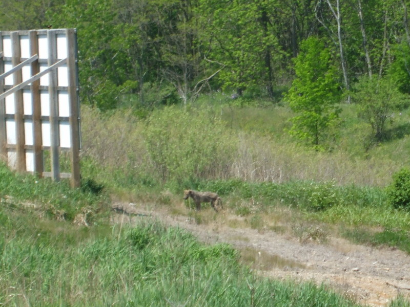 Coyote at the Beare Road Landfill