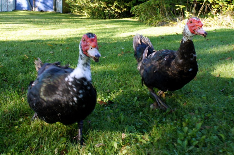 Muscovy ducks on the lawn.