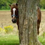 A shy Clydesdale