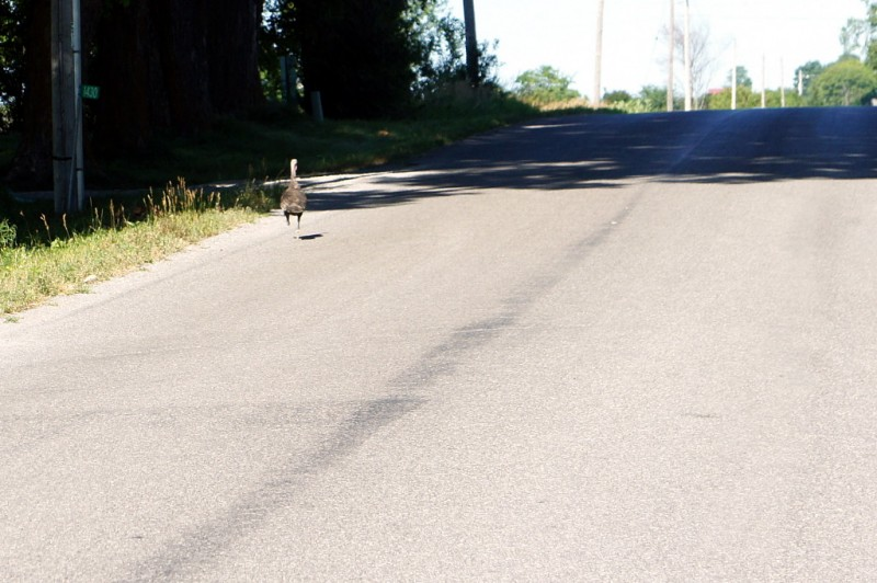 Road-running turkey