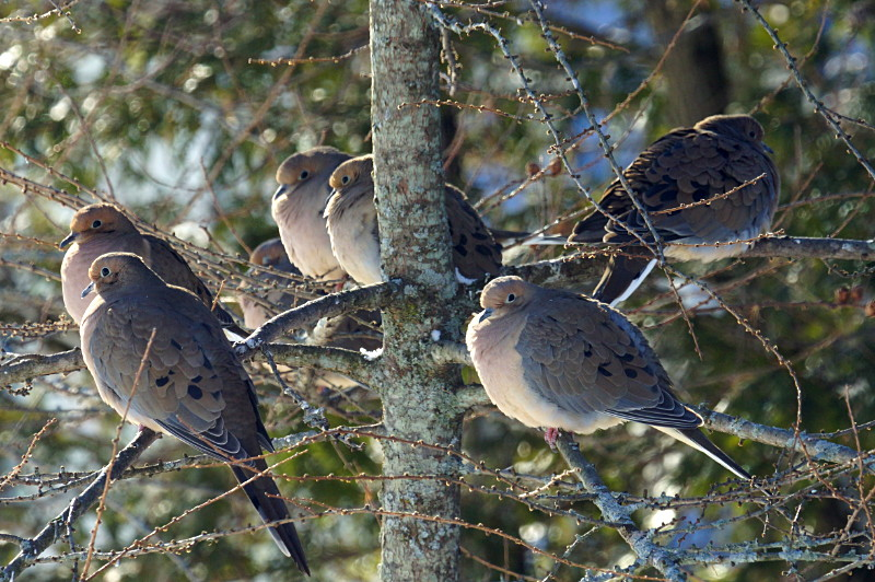 Mourning doves feeling contented after a meal