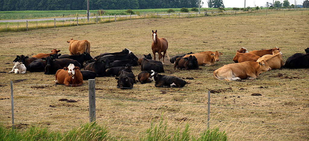 A horse in a field of cows